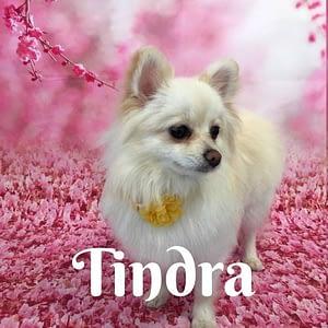 Tindra